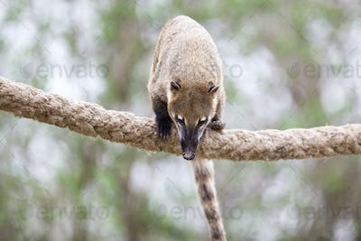 portrait of a very cute White-nosed Coati (Nasua narica) aka Piz
