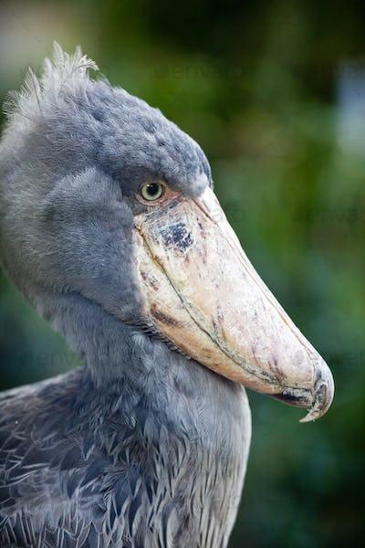 Shoebill (lat. Balaeniceps rex; aka Whalehead)