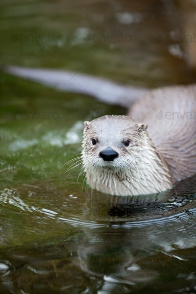 European Otter (Lutra lutra), also known as Eurasian otter, Eura