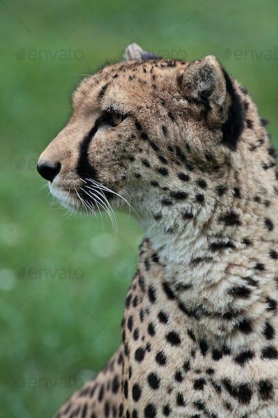 Close-up of a beautiful cheetah (Acinonyx jubatus)