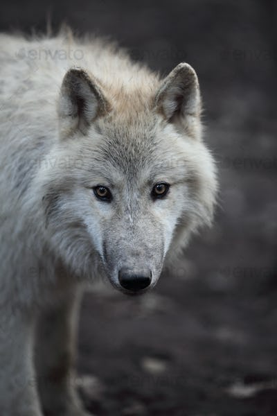 Arctic Wolf (Canis lupus arctos) aka Polar Wolf or White Wolf -