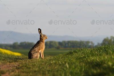 Brown hare (lepus europaeus) sitting on a green balk