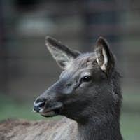close-up portrait of a doe/hind
