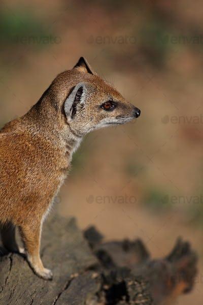 yellow mongoose