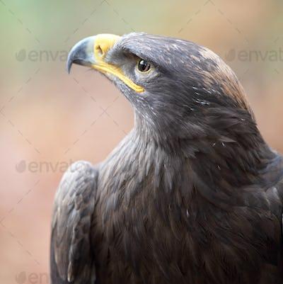 majestic steppe eagle close-up