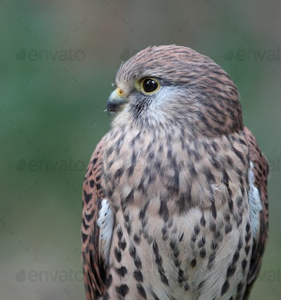 Common Kestrel - Falco tinnunculus - close-up view of this beaut