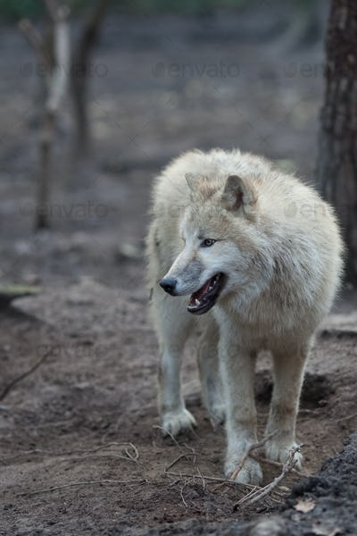 Close up view of a male wolf (Canis lupus)