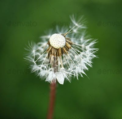 Dandelion against green grass background