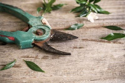 Old rusty pruning shears with leaves