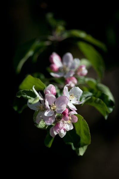 close-up view of a blossoming apple tree on a lovely sunny sprin