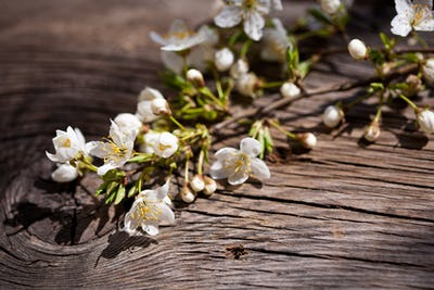 Blossoming branch of cherry