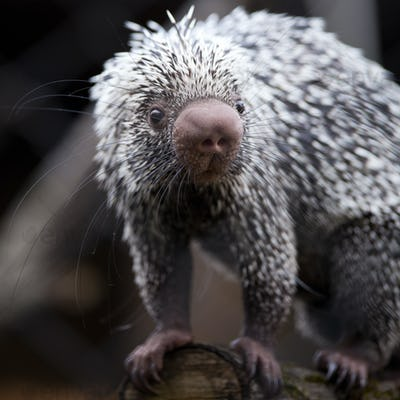 Close-up of a cute Brazilian Porcupine (Coendou prehensilis; sha