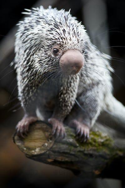 Close-up of a cute Brazilian Porcupine (Coendou prehensilis; sha
