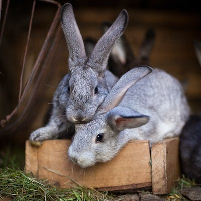 Young rabbits popping out of a hutch (European Rabbit - Oryctola