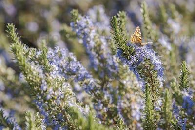 Rosemary plant closeup
