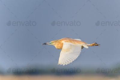 Squacco Heron (Ardeola ralloides)  in flight.