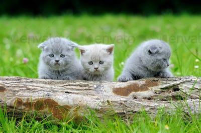 Three gray kitten on tree