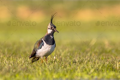 Northern lapwing watching over territory