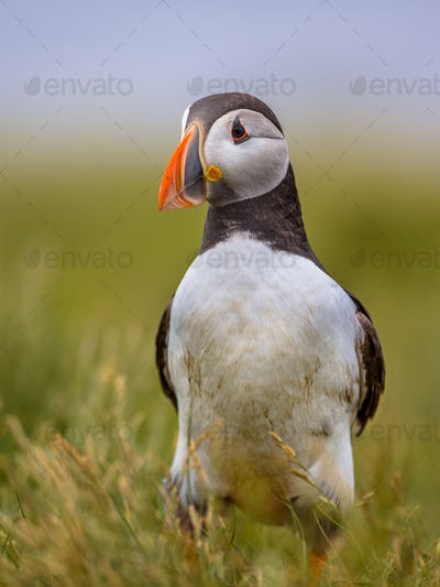 Puffin in grassy vegetation