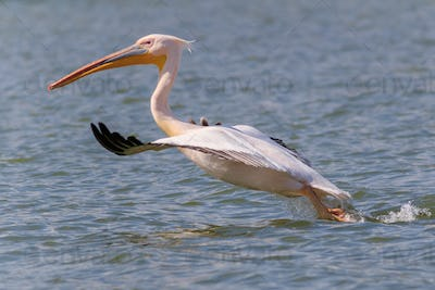 white pelican (pelecanus onocrotalus) in flight