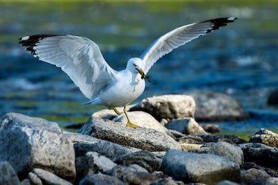 Ring-billed Gull - Larus dalawarensis