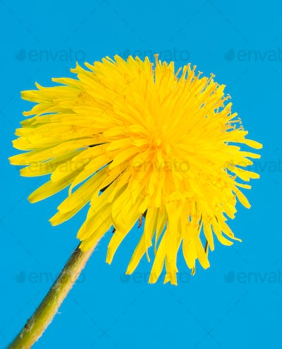 Yellow dandelion flower blossom