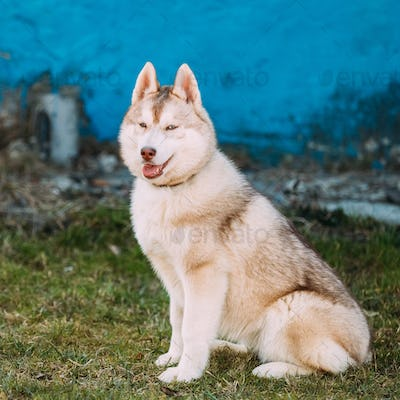 Young Funny White Husky Puppy Dog With Blue Eyes Play Outdoor
