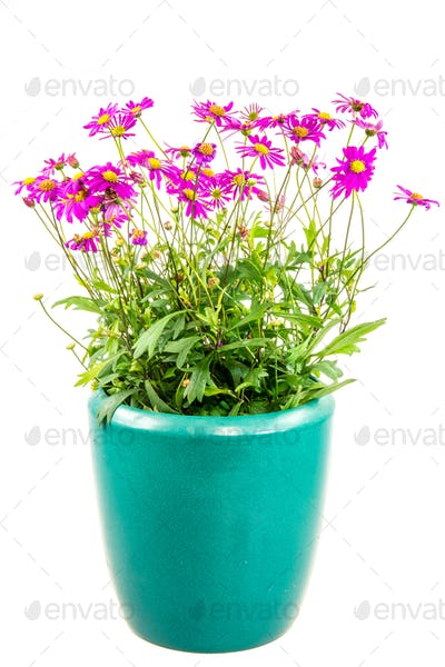 Isolated potted blue dasy flower