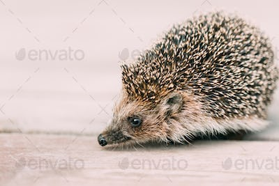 Funny Lovely Hedgehog Standing On Wooden Floor