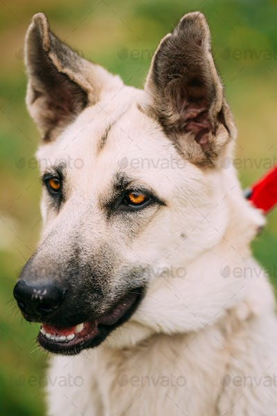 Close Up Portrait Of Young Happy East European Shepherd - Veo Or
