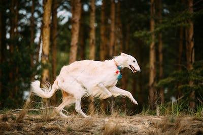 White Russian Borzoi Gazehound Running In Forest