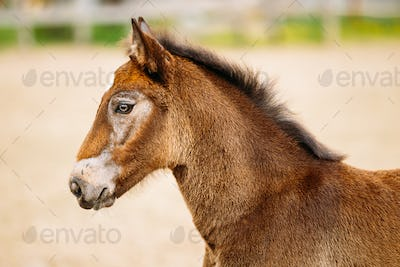 Portrait Of Brown Foal Young Horse