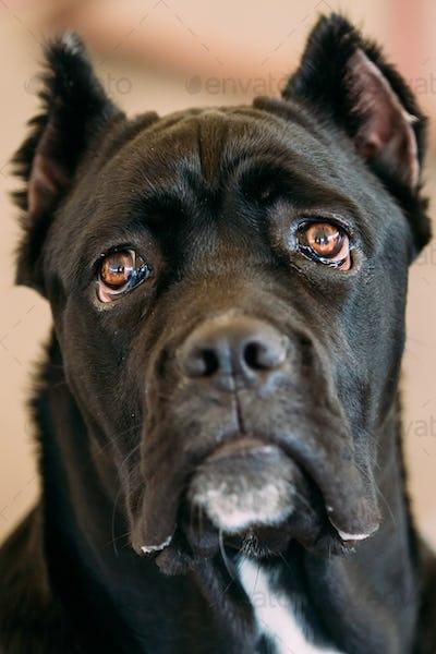 Cane Corso Whelp Puppy Dog Close Up