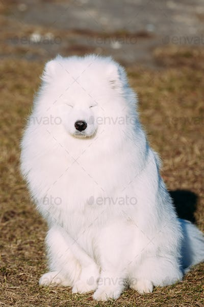 Funny Lovely Young White Samoyed Dog Outdoor