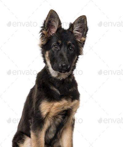 German Shepherd Dog puppy isolated on white