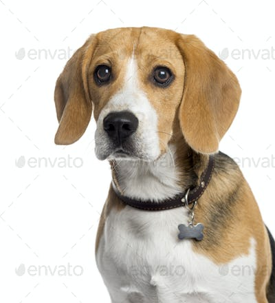 Beagle puppy isolated on white
