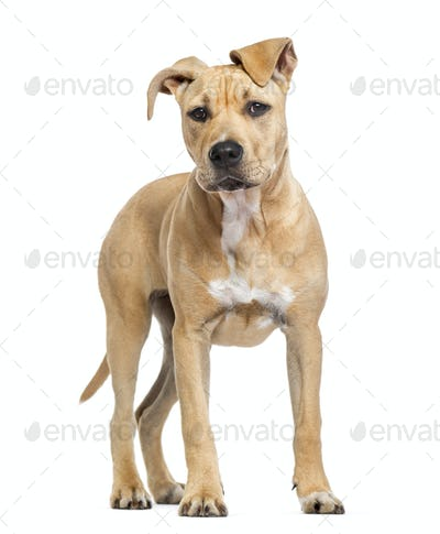 American Staffordshire Terrier puppy isolated on white