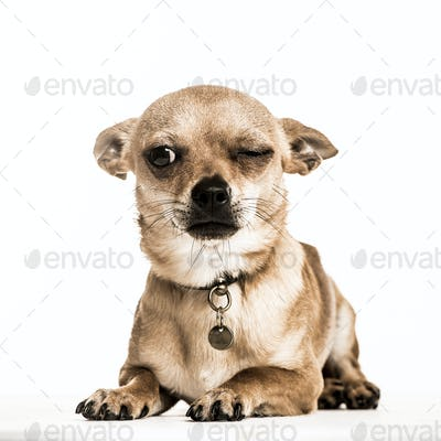 Chihuahua lying down with one eye closed, isolated on white