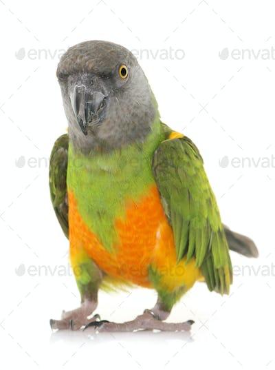 Senegal parrot in studio