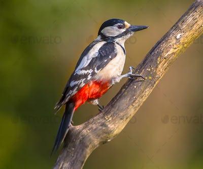 Woodpecker peeking at spectator