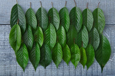 Green fresh leaves of cherry tree pattern background