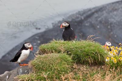 puffin bird - symbol of Iceland