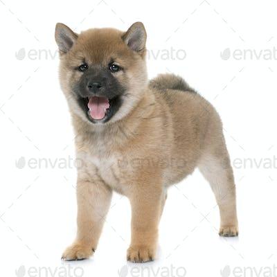 puppy shiba inu