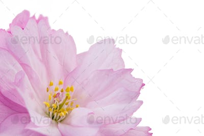 Isolated pink cherry blossom