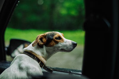 the dog rides in the car