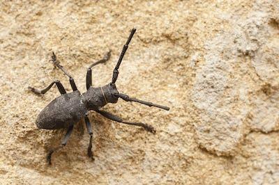 Black cerambyx insect