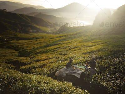 Tea Pickers at Dawn Nature Concept