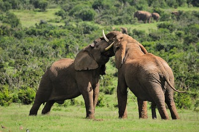 Two Elephants fighting, , South Afric