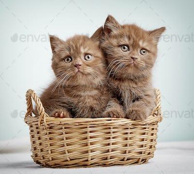 Two brown british shorthair kittens