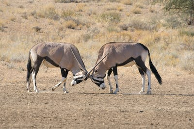 Oryx fighting